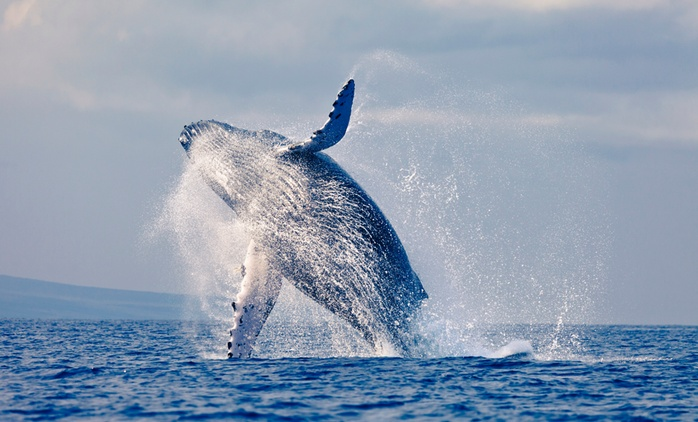 3.5-Hour Whale Watching Cruise - 1 ($35), 2 ($67) or Family of 4 ($115) + Morning or Afternoon Tea (Up to $230 Value)