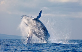Go Whale Watching: 3.5-Hour Whale Watching Cruise - 1 ($35), 2 ($67) or Family of 4 ($115) + Morning or Afternoon Tea (Up to $230 Value)
