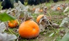 Toluca Lake Pumpkin Festival - South Valley: Haunted-Maze and Petting-Zoo Visit for Four, Six, or Eight at Toluca Lake Pumpkin Festival (Up to 66% Off)