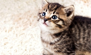 Whiskers on Kittens Boarding: $39 Three Days of Boarding for Cats at Whiskers on Kittens Boarding ($75 Value)
