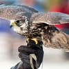 Three-Hour Falconry Experience