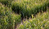 50% Off Corn Maze Admission