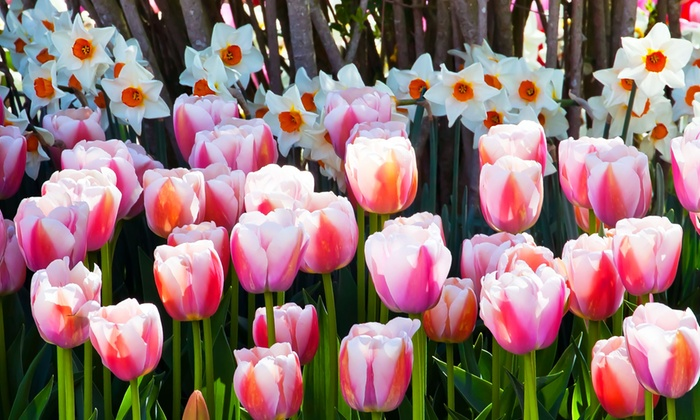 Up to 65 off on pink tulip and daffodil bulb set groupon goods pink tulip and daffodil bulb set 20 40 mightylinksfo