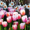 Pink Tulip and Daffodil Bulb Set (20-, 40-, or 100-Pack)