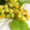 Pre-Order Seeded Niagara or Seedless Concord Grapevine Root
