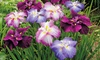 Pre-Order: Japanese Iris Bareroot Collection (3-Pack): Pre-Order: Japanese Iris Bareroot Collection (3-Pack)