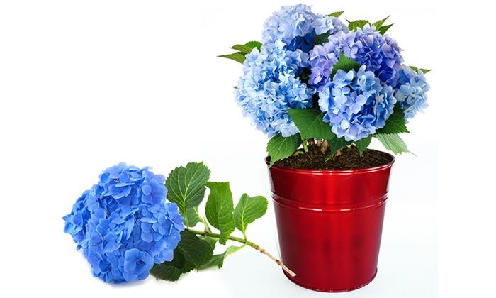 Hydrangea Easy-Grow Kit | Groupon Goods