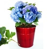 Hydrangea Easy-Grow Kit with Roots, Soil, and Pot