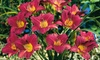 21-Pack of Purple De Oro Daylily Bare Root Plants: 21-Pack of Purple De Oro Daylily Bare Root Plants