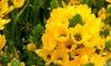 Star of Bethlehem Ornithagalum Sunset or Gold Flower Bulbs (10-Pack)