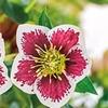 "Romantic Getaway Lenton Rose (3""x3"" Potted Plant)"