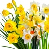 Pre-Order: Spring Blooming Mixed Daffodil Bulbs (25-Pack)