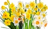 Pre-Order: Spring Blooming Mixed Daffodil Bulbs (25-Pack): Pre-Order: Spring Blooming Mixed Daffodil Bulbs (25-Pack)