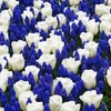 Pre-Order Tulip and Muscari Blue Blend, 10 Bulbs