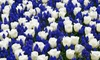 Pre-Order Tulip and Muscari Blue Blend (10 Bulbs): Pre-Order Tulip and Muscari Blue Blend (10 Bulbs)