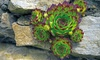 Hens and Chicks Succulent Plants: Hens and Chicks Succulent Plants