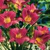 Re-Blooming Purple de Oro Daylilies