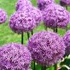 Pre-Order Purple Sensation Allium Bulbs (15-Pack)