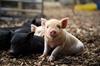 Miniature Pig Experience