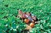 SIEGEL'S COTTONWOOD FARM - Crest Hill: $15 For 2 Pumpkin Fest Admissions (Reg. $30)
