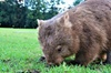 Walking with Wombats Day Tour: All Inclusive