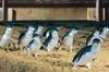 PRIVATE TOUR: Half-Day Phillip Island Penguin Parade PLUS VIEWING