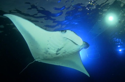 Manta Ray Night Snorkel Big Island Hawaii 2ff52bb8-9b87-46db-b46d-d061f34fdaee