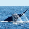 Hornblower Blue Whale Watching Adventure Cruise