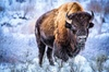 Winter Yellowstone Tour (With Optional Hike or Snowshoe)