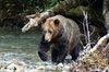 Grizzly Bear Tour in Toba