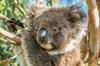 Shore Excursion: Adelaide City Sights, Cleland Wildlife, Mount Loft...