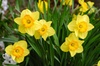 Best of New England with Nantucket Daffodil Festival