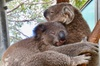 Private Tour: Healesville Sanctuary Wildlife & Puffing Billy Steam ...