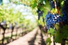 Private Winery and Vineyard Tour from Barcelona by Business Car