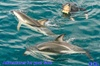 Dolphin Swimming and Watching E-Ko-Tour from Picton