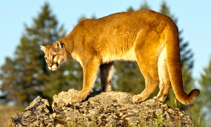 MUZEO - The Colony: Cougars and Grizzlies: Sharing Their Path at MUZEO