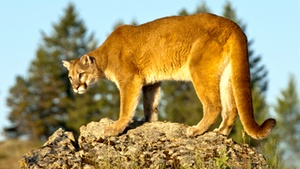MUZEO: Cougars and Grizzlies: Sharing Their Path at MUZEO