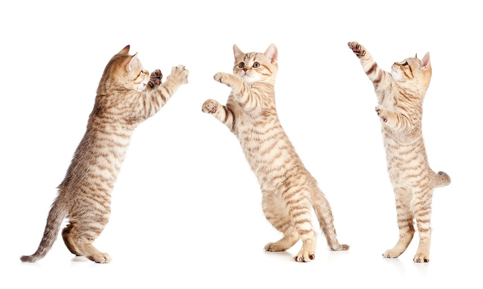 The Dancing Cat  - Julian-St. James: Spend an Hour With the Cats at The Dancing Cat