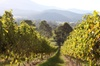 Pizzini Wines Old World Flavours New Vintage Wine Tasting and Grazi...