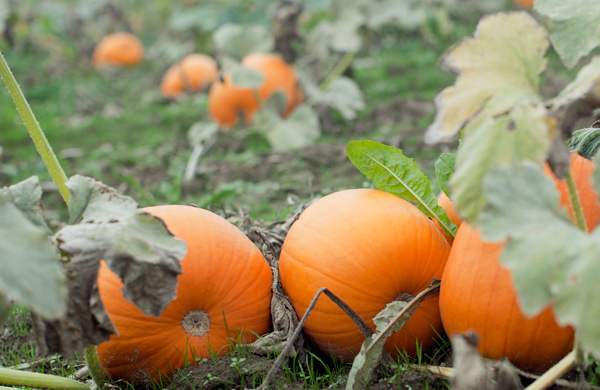 Fresh-Picked Fall Activities at Six Chicagoland Farms