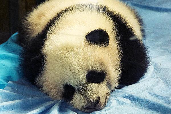 Bebé de oso panda en el Zoo de Madrid