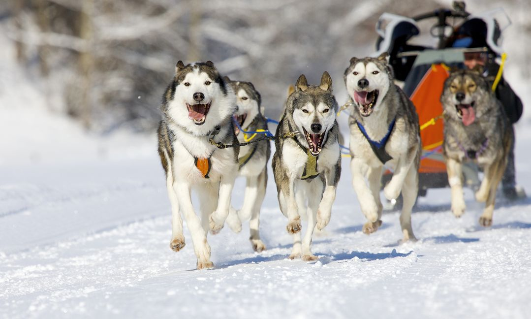 Team of dogs pulling a sled in the snow