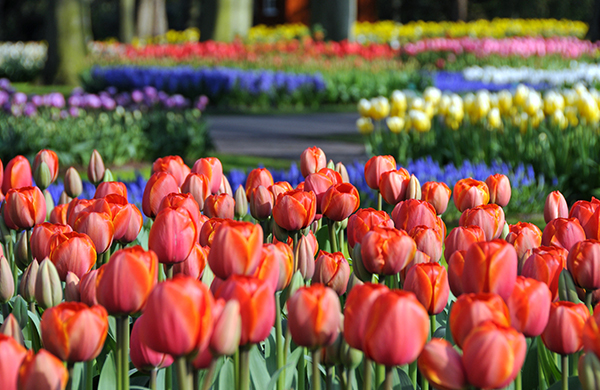 Every year the in the beginning of May in Holland, Michigan a Tulip Festival  is