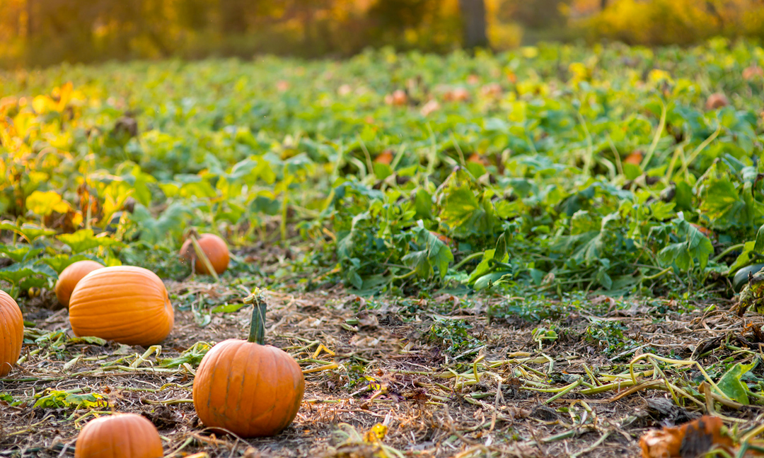 Autumnal field of pumpkins