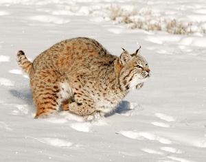 Skiing Safari  bobcat