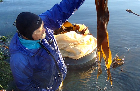 Five Questions with an Edible-Seaweed Harvester