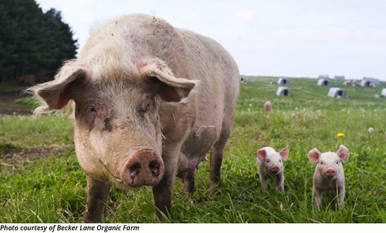 Farm to Table: Berkshire Pork from Heritage Hogs