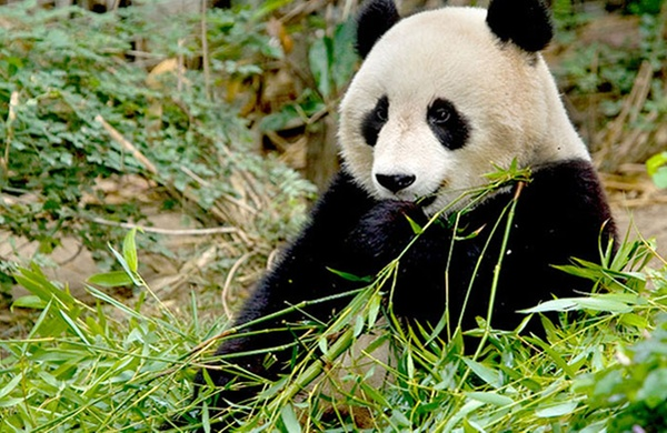 America s Best Zoos for Animal Photos panda