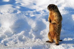 Skiing Safari  marmot