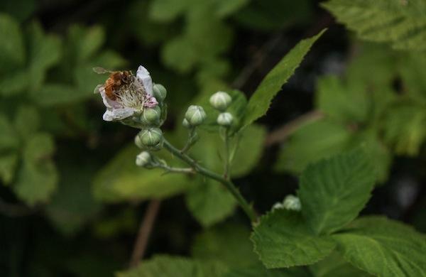 Beekeeping-Tips-from-Krista-Conner-blackberry_600c390